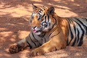 foto of unawares  - A tiger show own tongue by unaware - JPG