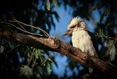 pic of kookaburra  - Laughing Kookaburra sitting on a branch in the Australian rainforest - JPG