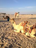 stock photo of hump day  - the Camel on the sand for background - JPG