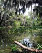 picture of bayou  - Swamp New Orleans - JPG
