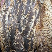 stock photo of taxidermy  - bittern plumage texture of feathers on a taxidermy mount - JPG