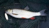 pic of chub  - Nice chub caught on spinning lure in Russia - JPG