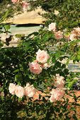 stock photo of climbing rose  - Beautiful pink climbing rose in the afternoon sunlight - JPG