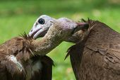 Two Hooded Vultures Preening Each Other