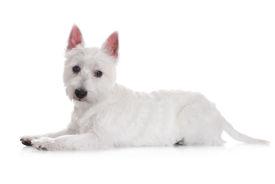 pic of westie  - west highland white terrier dog on white - JPG