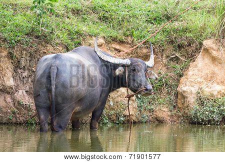 Buffalo In Swamp