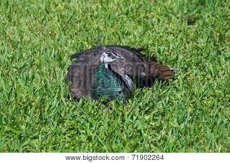 Peahen Sitting In A Field Of Grass
