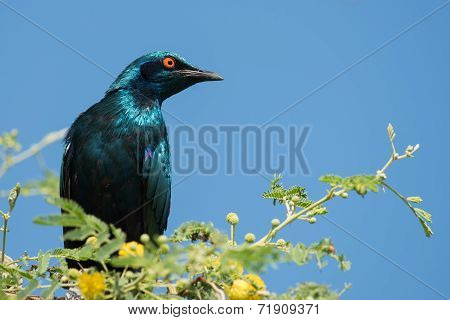 A Greater Blue-eared Glossy Starling (lamprotornis Chalybaeus) Perched In A Tree