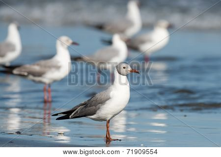 A Group Of Grey-headed Gulls (larus Cirrocephalus) Standing On The Shore