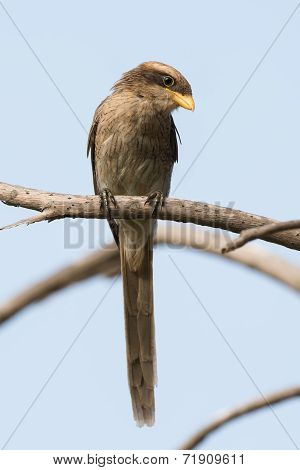A Yellow-billed Shrike (corvinella Corvina) Calmly Look Downwards