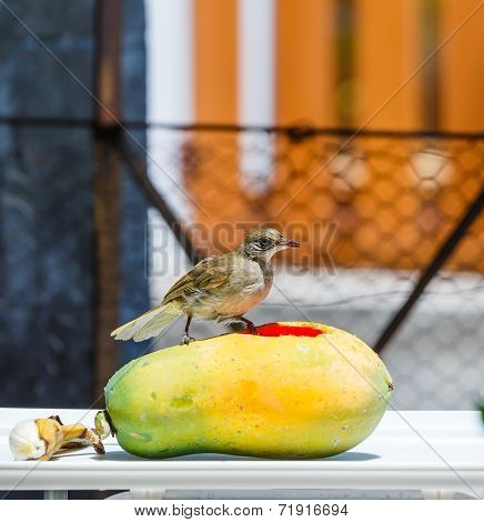 Streak-eared Bubul Bird (pycnonotus Blanfordo) On Fruit