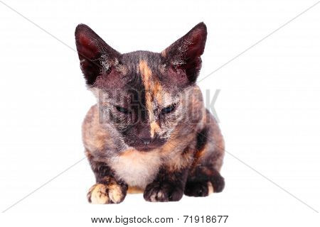 Young canadian sphinx cat