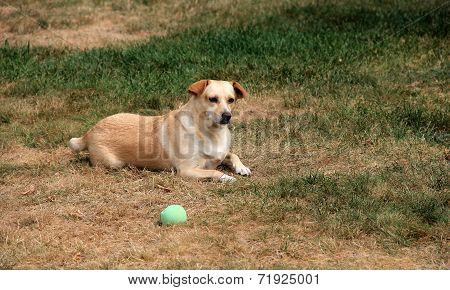 Mixed breed puppy playing with green ball
