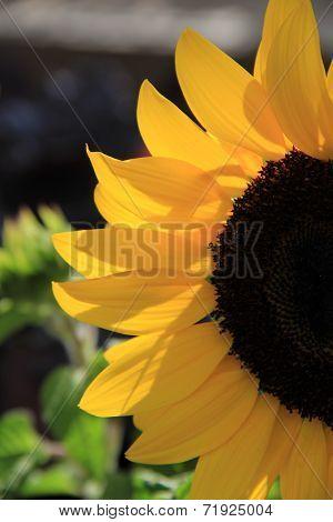 Gorgeous sunflower petals