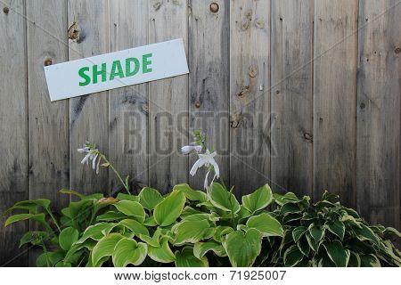 Gray barn board with Hosta plants