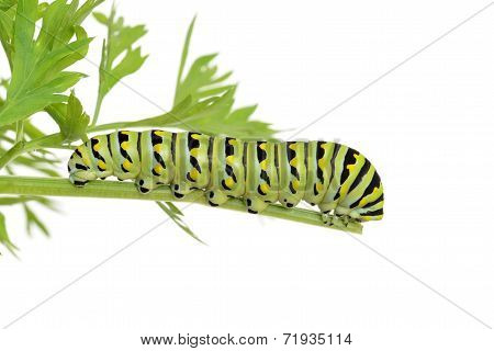 black swallowtail caterpillar on a carrot plant