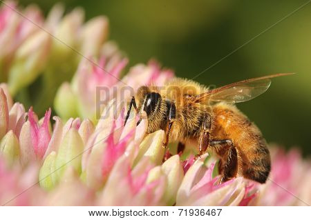 Bee In Colorful Summer Flower