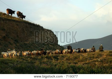 Armenian herd