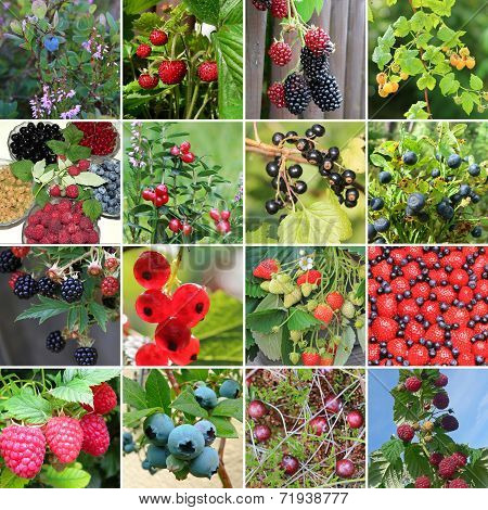 Collection Of Wild Berries