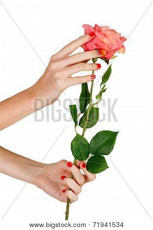 Female Hands Holding Rose
