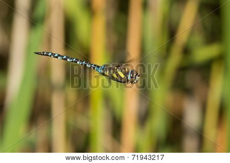 Male Migrant Hawker in Flight
