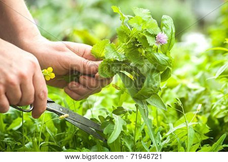 Gathering Fresh Herbs In The Garden