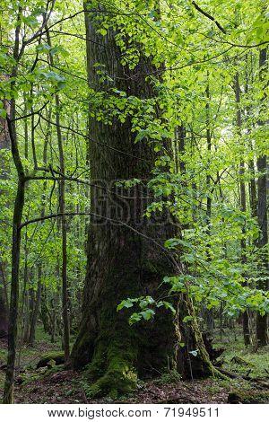 Giant Oak Tree Grows Among Hornbeams