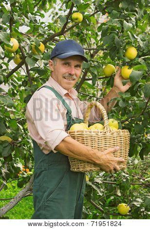Man Picks The Apples In Garden In September
