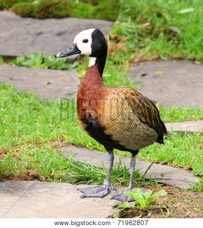 White Faced Whistling Duck Dendrocygna viduata White-Faced