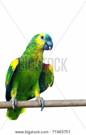 Blue fronted Amazon parrot isolated on white background with clipping path.