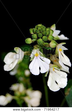 Calanthe Alismifolia