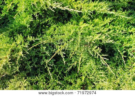 Green Conifer Needles Background