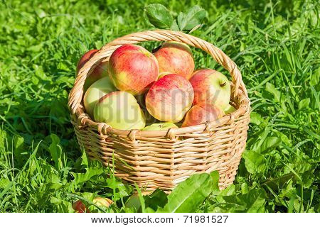 Red Juicy Apples In The Autumn
