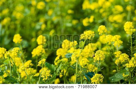 Yellow Flowering Rapeseed With A Bee From Close
