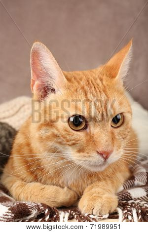 Red cat on blanket on brown wall background