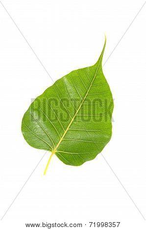 Green Bodhi Leaf Isolated