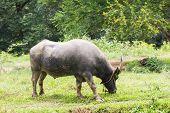 image of carabao  - Buffalo grazing in a field width in thailan - JPG