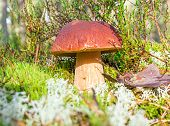 picture of boletus edulis  - In the forest the boletus grew - JPG