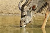 image of greater  - A Greater Kudu bull antelope drinks water, as photographed in the wilds and wilderness of Namibia, southwestern Africa.