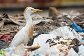 pic of maggot  - A Cattle Egret  - JPG