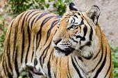stock photo of sundarbans  - Tiger portrait of a bengal tiger background