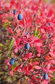 picture of bearberry  - Ripe blueberries with red leaves in autumn forest - JPG