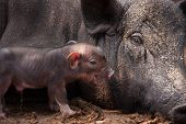 stock photo of baby pig  - baby piggy beside Mother pig in farm