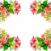 picture of creeper  - Beautiful Rangoon Creeper flower  - JPG