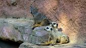 foto of steppes  - Steppe mouse watching the visitors of the zoo - JPG