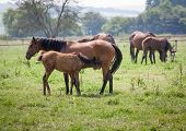 pic of mare foal  - beautiful brown Mare and a nursing foal - JPG