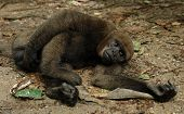 The amazonian rain forest monkey