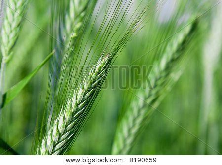 landwirtschaftliche Pflanzen