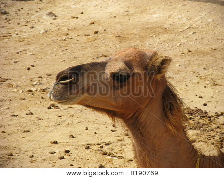 Camel, Tunisia