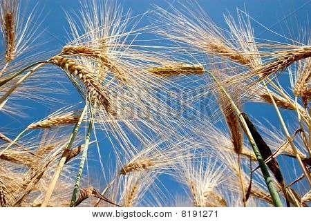 Barley field - low angle view with blue sky